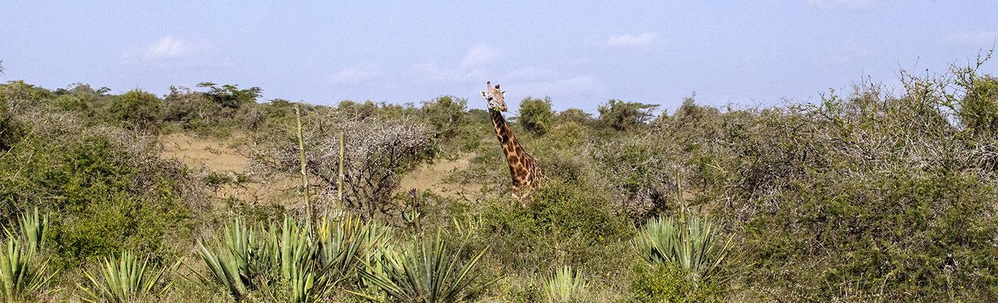 kenia, żyrafa, bush