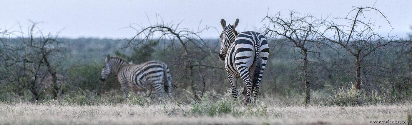 kenia, zebry, bush