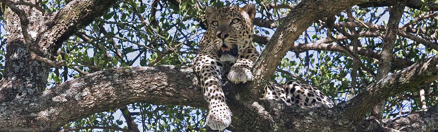 jaguar, kenia, amboseli